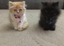 قطط فارسيه