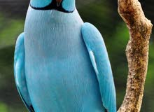blue parrot (baby)