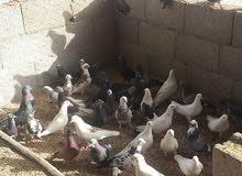 مطلوب تبني حمام بلدي صنعاني امريكي اي نوع