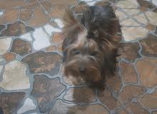 كلب يورك شير زينه اوكراني مع جواز سفر