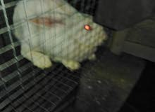 ارانب مالطي نيوزلندي  ايناث للبيع اعمار مختلفه