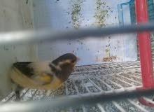 عرض مميز طيور كناري جاهزو للتزاوج  تواصل معي