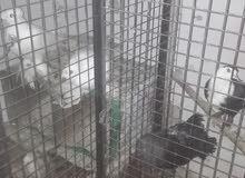 حمام اجنبي وبلدي للبدل على اقفاص عصافير واجهات للمحل
