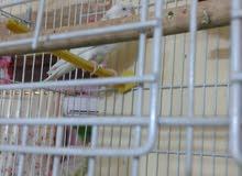 ذكور طيور حب جاهزات سعر الزوج 15الف وبيهن مجال