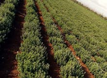 مزرعة زعتر مميزه بدخل سنوي ممتاز للبيع في محافظه اربد