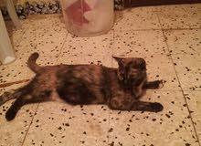 قطة للتبني النوع مجنسة