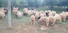 100 خروف غنم للبيع