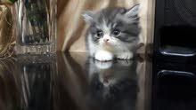 قطه من ام بيكي فيس واب تركي نادر عمرها شهر ونص
