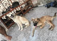 كلبين لبرادور Labrador retriever للبيع for sale