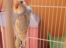 طيور بادجى هولاندى عمر 4 شهور