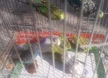 طيور حب عادي زوج 8 أمهات