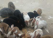 15 ارنب زغير عمر شهرين