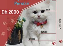 Trained Himalayan Persian Female I 2 months I Brown & White I Blue
