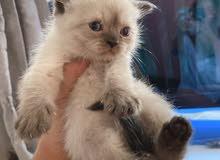 Himalayan scotch kittens 40days