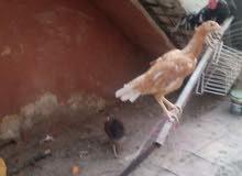دجاجه هنديه بصحه جيده على وجه بيض