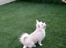 للبيع كلب مالتيزر العمر 9شهورا