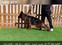 كلاب مستويات قوية جدا للتلقيح فقط !!!! very high quality dogs for mating only