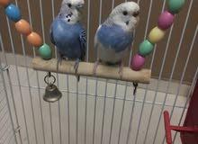 جوز طيور حب مع قفص كبير يسع 13 طير مع عش و بيض