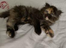 قطط للبيع كتين هاف بيكي فيس