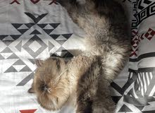 Male Himalayan cat for sale