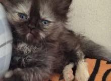 قطة تبني برسوم / cat for adoption 450 AED