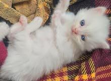 قطط شيرازي بيور العمر 6 اسابيع