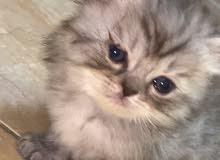 قطط هيملايا شانشيلا