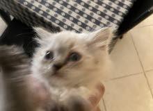 kittens for sell كيتنس للبيع