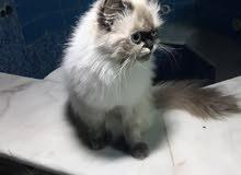 قطط هملايا أصلي للبيع .. عائلة ثلاث قطط