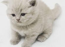 قطط بريتش بلو وليلك للبيع