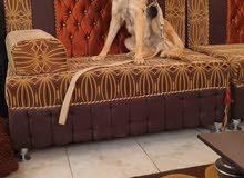 كلب جيرمان شبر