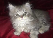 قطط شيرازي عمر شهرين