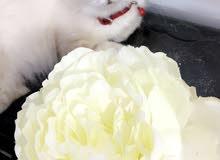 قطه هيمالايا