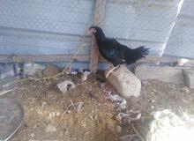 فروخ دجاج باكستاني