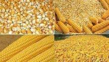 كمية من الذرة الصفراء المعدلة وراثيا