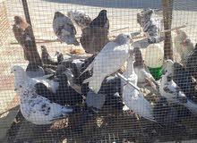حمام بلدي شغال 100 % 19جوز حبات جامبو للبيع او للبدل على دجاج بلدي او ارانب