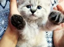 قطط ميامي