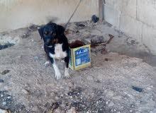 كلبه صوصج للبيع اربد