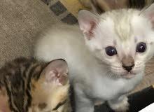 Bengal kittens for sale- كتنز  بنغالي للبيع