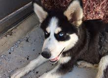 كلب هاسكي مالموت بيور عمرها ثلث شهور