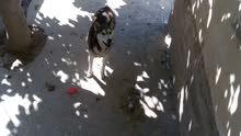 كلب هاسكي أنثى للبيع أو للبدل