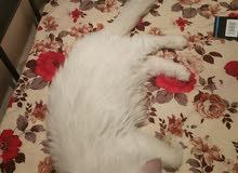 قطة شيرازي حجم كبير