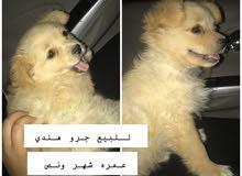 للبيع كلب هندي الكلب لايشكي من اي أمراض