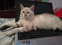 قط وقطة بيرمان زوجين للتبني مجانا
