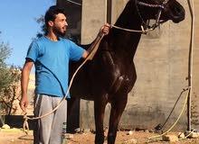 حصان انجليزي مستورد للبيع