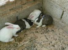 أربع ارانب