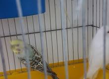 14 حبة طيور حب ذكور وأناث شغالات 100% صحة ونظافة ومثل القلم ما شاء الله