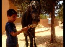 حصان عمره خمسة سنوات
