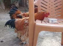 دجاج ابراهما للبيع بسعر مغري