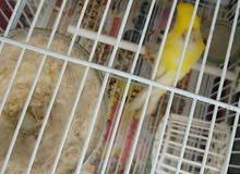 عندي طيور كناري واحد أنثى واحد ذكر